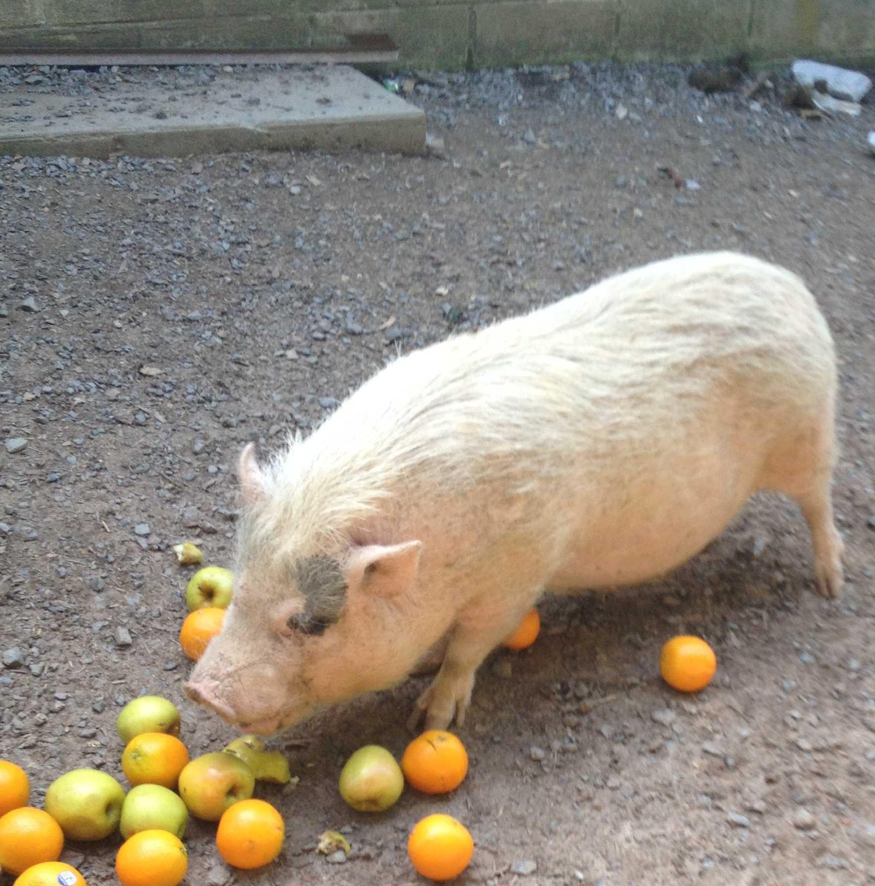 Karen Burall's pig, Emily, enjoys a tasty treat of apples and oranges.