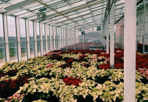 Horticulture students prepare for the annual poinsettia plant sale: Photo of the Day 11/18/15