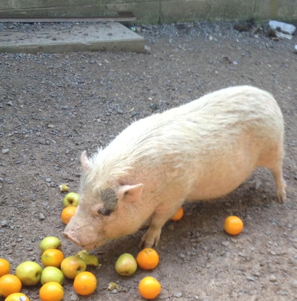 Karen+Burall%27s+pig%2C+Emily%2C+enjoys+a+tasty+treat+of+apples+and+oranges.