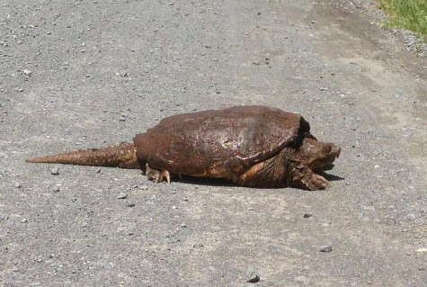 The snapping turtle crosses the road at the Linganore Winery. It made it safely to the other side.