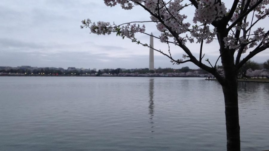 The Cherry Blossoms that bloom every spring in Washington, D.C. attract thousands of people annually. This picture of the Washington Monument was taken during an early morning at the festival.