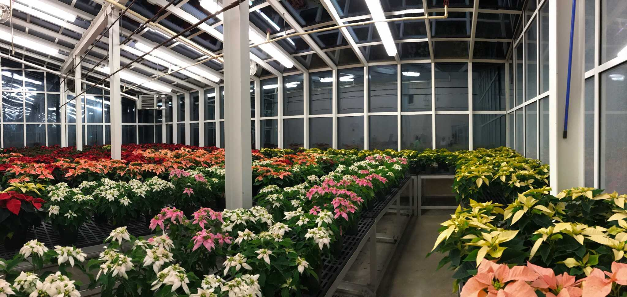 The poinsettias grown in the greenhouse.