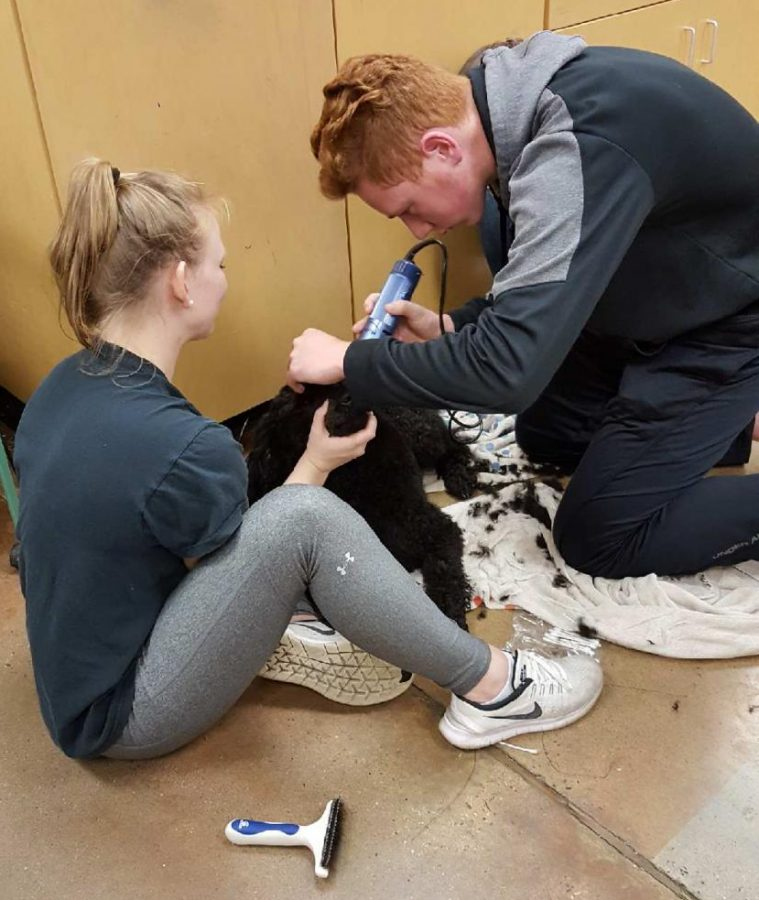 Kaycee Morris and Garrett Reese use clippers to groom Kaycee's dog, JJ.