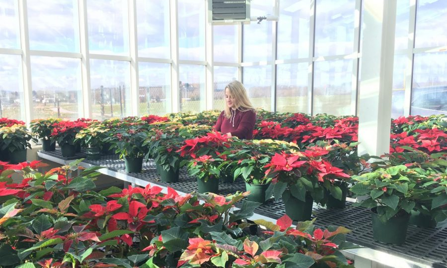 Senior Grace Winnipigler watering her poinsettias.