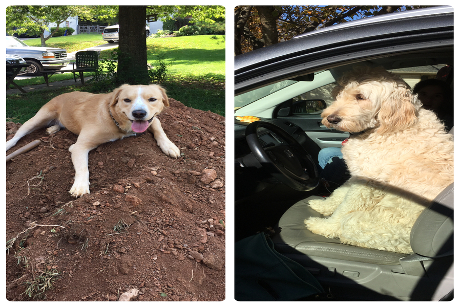 Jacob Blue has two dogs. Charlie (on the left) is a two year old golden beagle and Sunny is a five year old golden doodle.