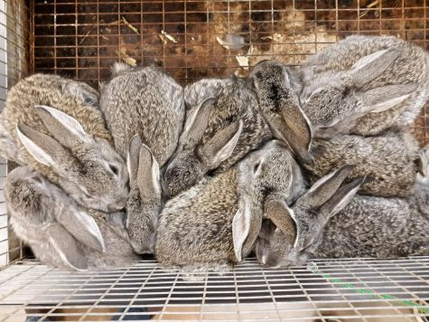 Every bunny needs somebunny: Pre-Vet class enjoys 31 rabbits visit!