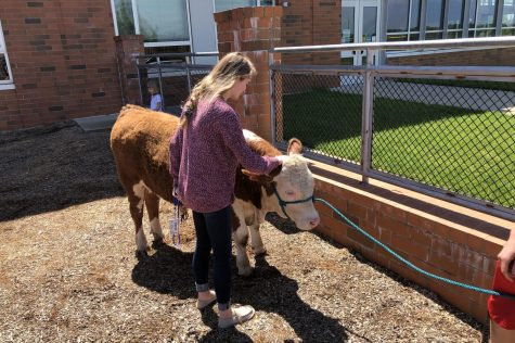 Chester the cow visits the Little Lancers: Photo of the Day 5/16/19