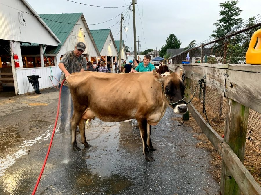 Austin Welty grooms his cow in preparation for exhibition at the Frederick Fair.