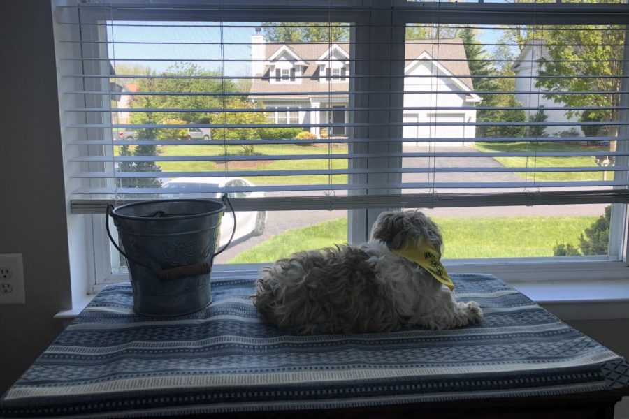 Dunkin, Sammie Hoefs'  6-year-old dog, waits by a window with her bucket of leashes. With families staying home, dogs are getting more walking time with their owners.