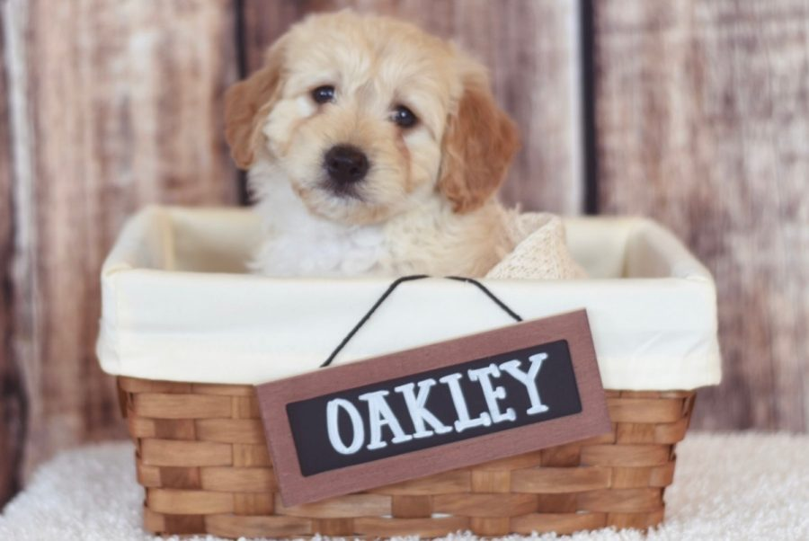 Oakley poses in adorable basket when he was a puppy.