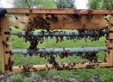 Local Beekeeper Arron Tressler's hive is trying to make a new queen. The small cocoons are actually the eggs of the future queen.